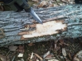 Emerald Ash Borer tunneling damage beneath tree bark
