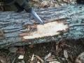 Emerald Ash Borer tunneling damage beneath tree bark